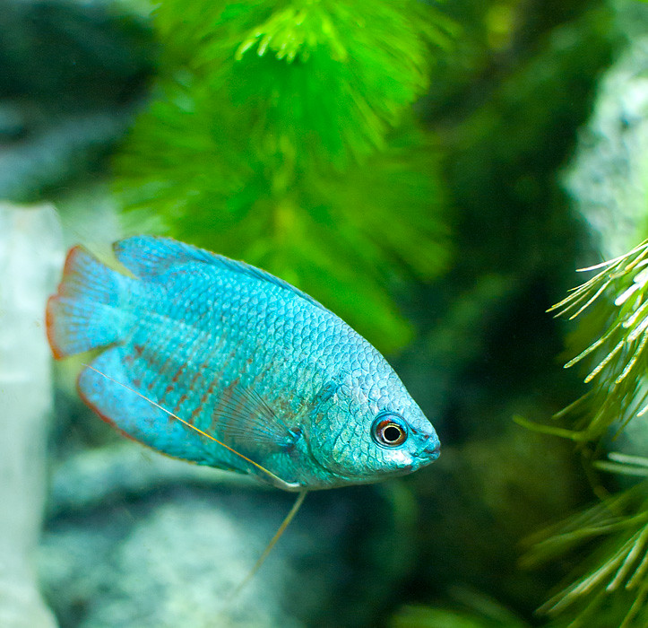 neon blue dwarf gourami - 723×700