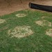 large patch on Zoysia japonica