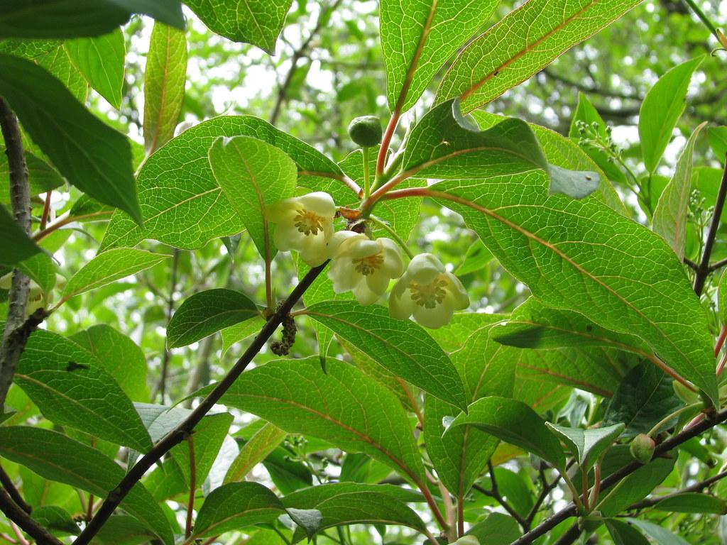 Schisandra grandiflora