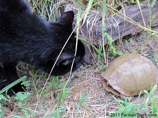 Mr. Midnight inspects a turtle in the kitchen garden | by Farmgirl Susan