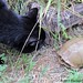 Mr. Midnight inspects a turtle in the kitchen garden