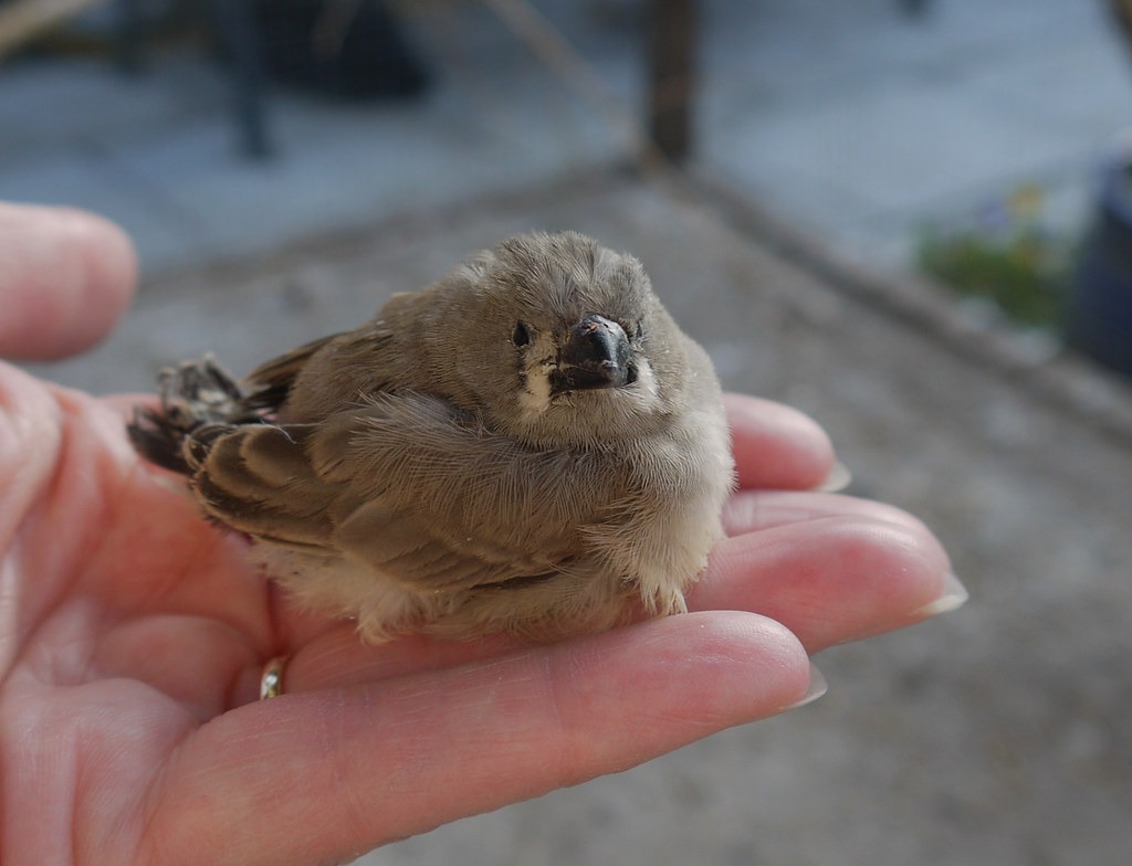 Baby Zebra Finch | This little fledgling is quite young ...