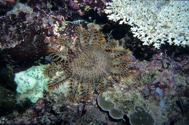 Crown of thorns starfish eating coral, Fiji with dead ...