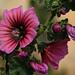 Varigotti - flowers