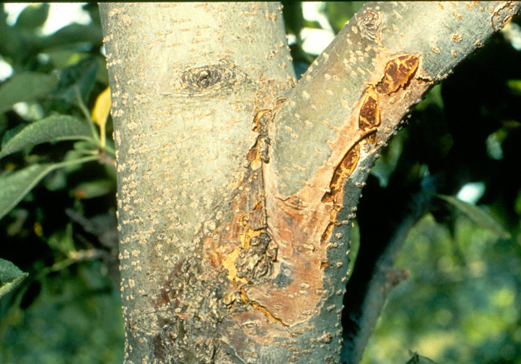 Canker On Apple Limb Caused By The White Rot Fungus Photo