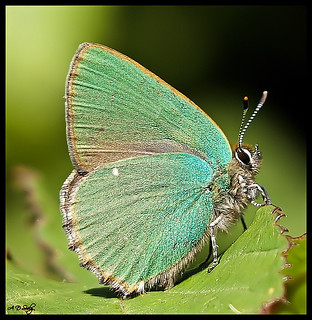 GREEN HAIRSTREAK  { EXPLORE } | by Andy Seely