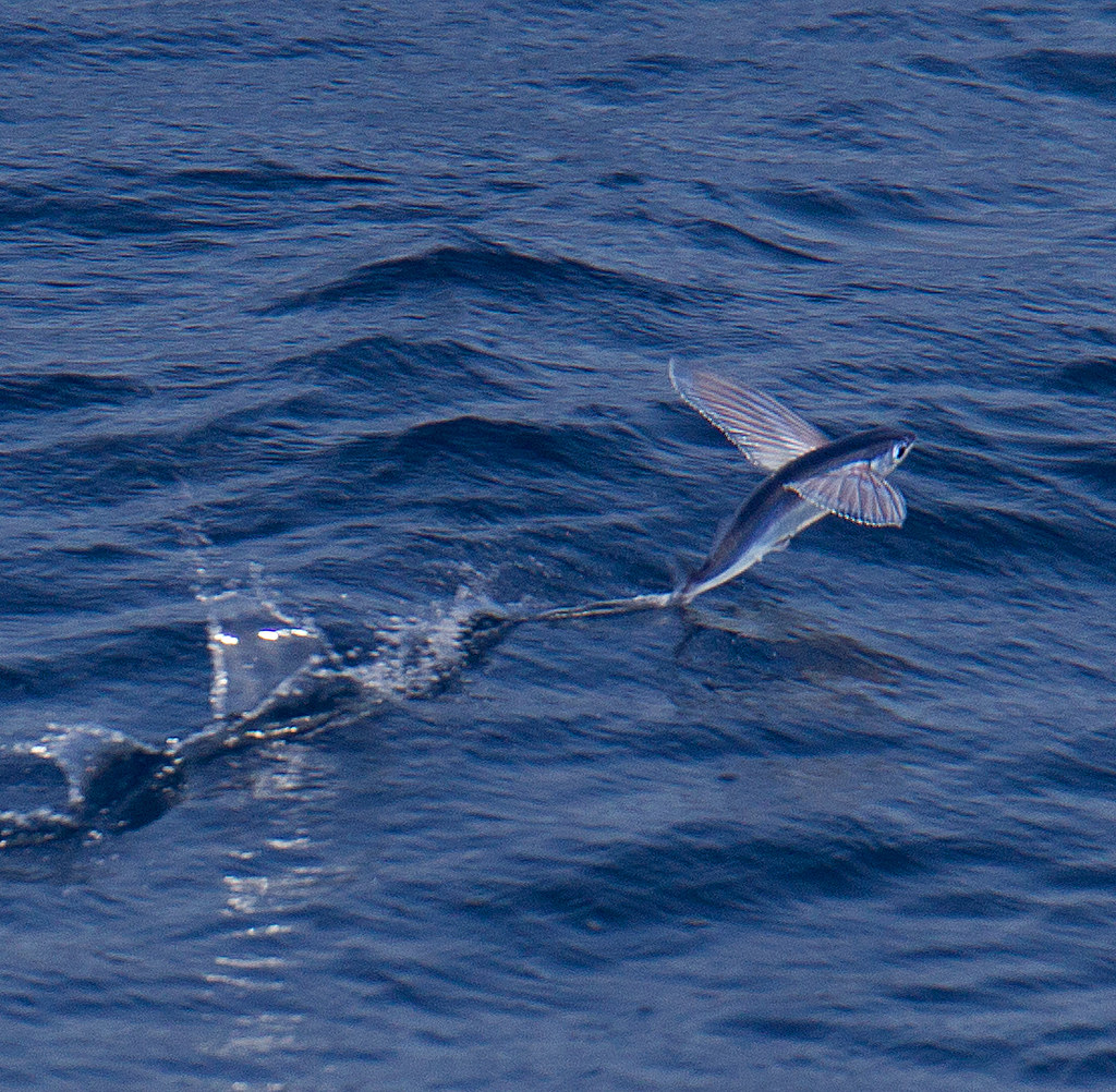 Flying fish cheilopogon sp 52 species of flying fish are for Flying fish fleet