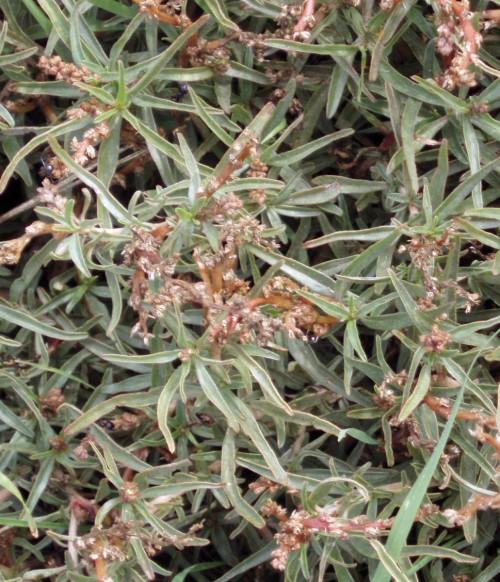 Amaranthus muricatus 5779134701_42bf873925_o