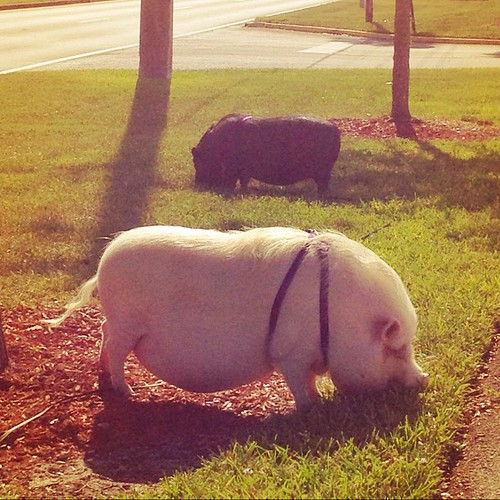 What a random sight! Zachary and I just saw two Vietnamese potbellied pigs hanging out at Veterans Park in Tamarac! | by karen lisa*