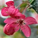 Two Flowering Crabapple Blossoms And Two Buds