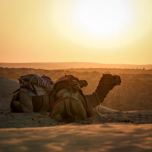 Camels in Khuri sand dunes near Jaisalmer, India ジャイサルメール、クーリー砂丘とラクダ