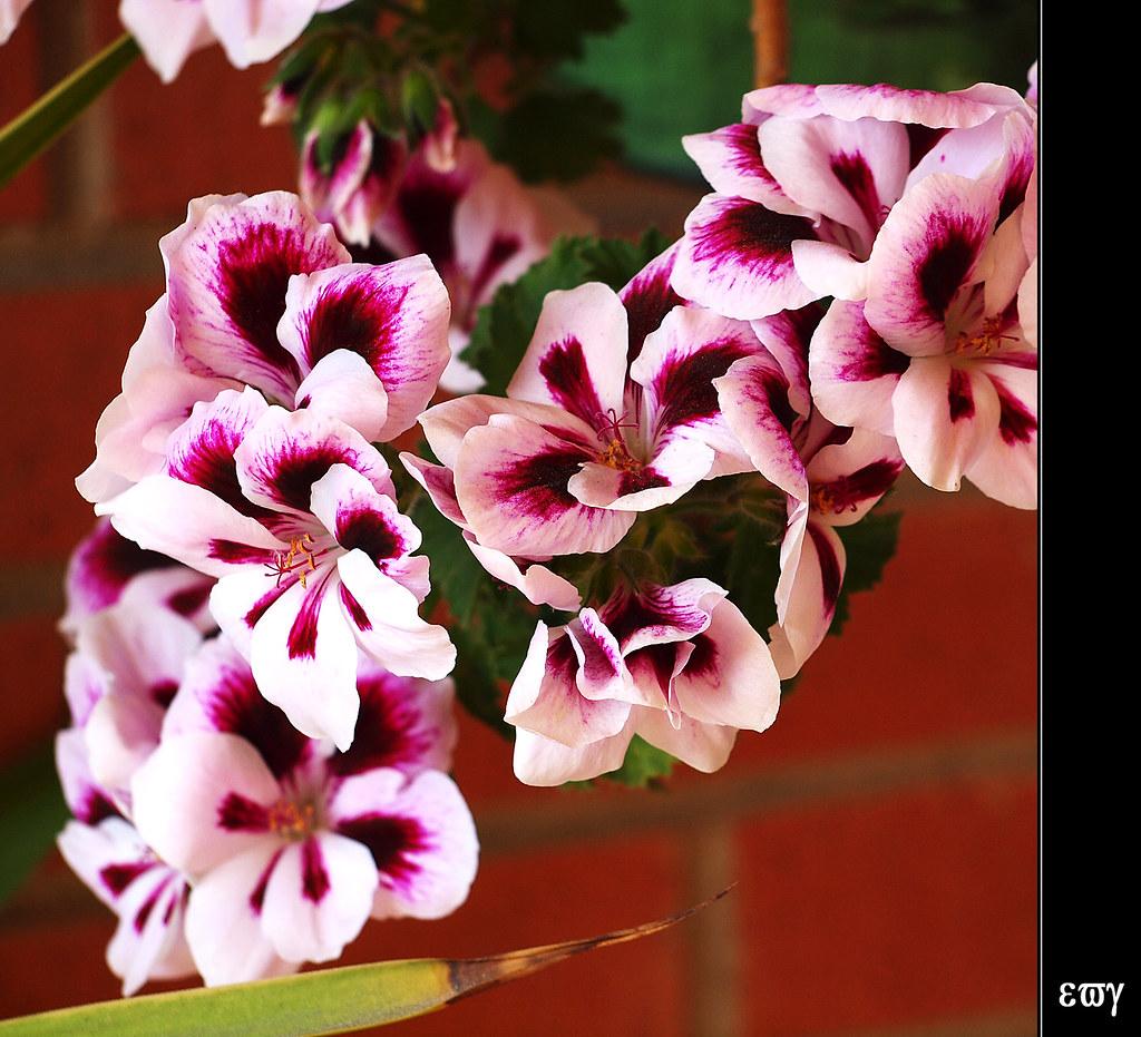 Pelargonium grandiflorum geranio pensamiento geranio rea - Geranio de pensamiento ...
