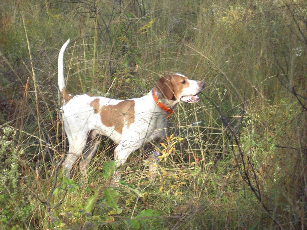 Dog quail hunting florida fish and wildlife flickr for Florida fish and wildlife jobs
