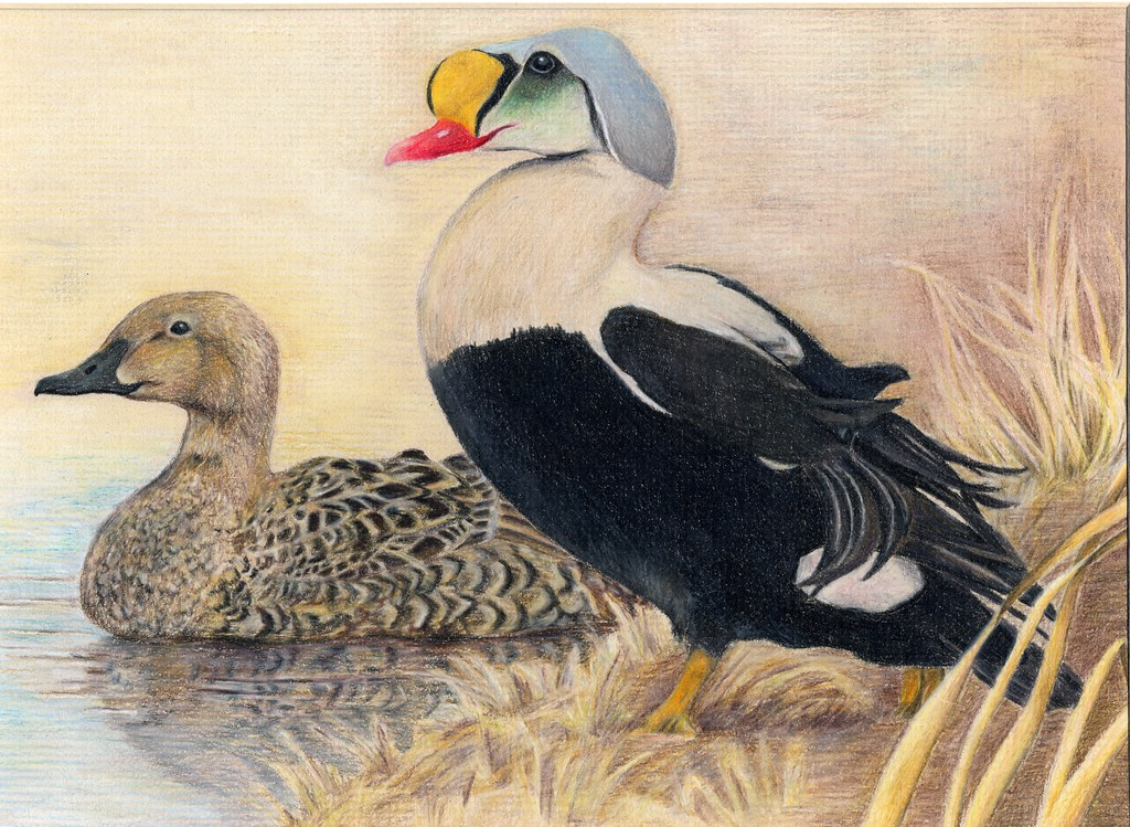 Kansas 2012 jr duck stamp program state best of show for Kansas fish and wildlife