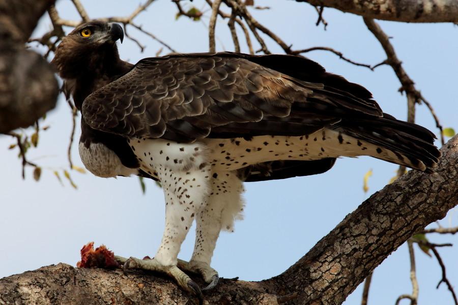Martial Eagle, Polemaetus bellicosus, Breekoparend with Gu ...
