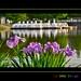 Iris au bord du lac