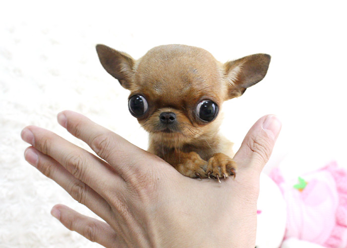 Chihuahua Micro Teacup Puppy | Boutique Teacup Puppies www ...