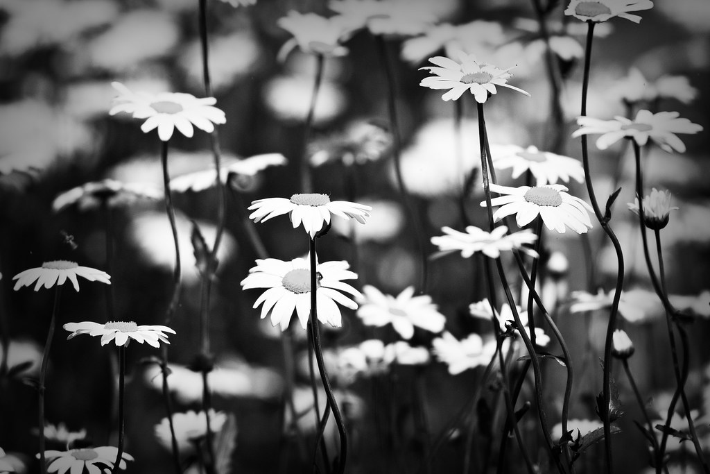 Daisies in black and white   Daisies at 640mm! I took this ...