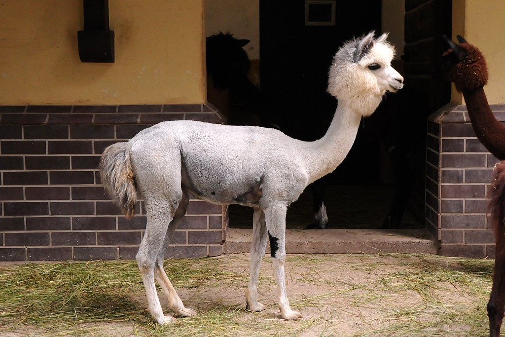 Pudel-Alpaka | Alpaka im Zoo Frankfurt. -- Alpaca in ...
