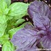 purple and green basil in my kitchen garden