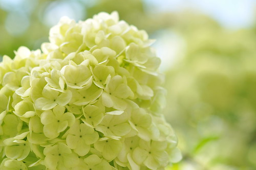 Chinese Snowball Viburnum | by Carole_R