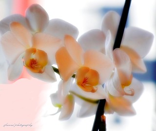Orchids for you all, happy Easter! | by jackfre2
