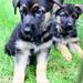 Y litter pups
