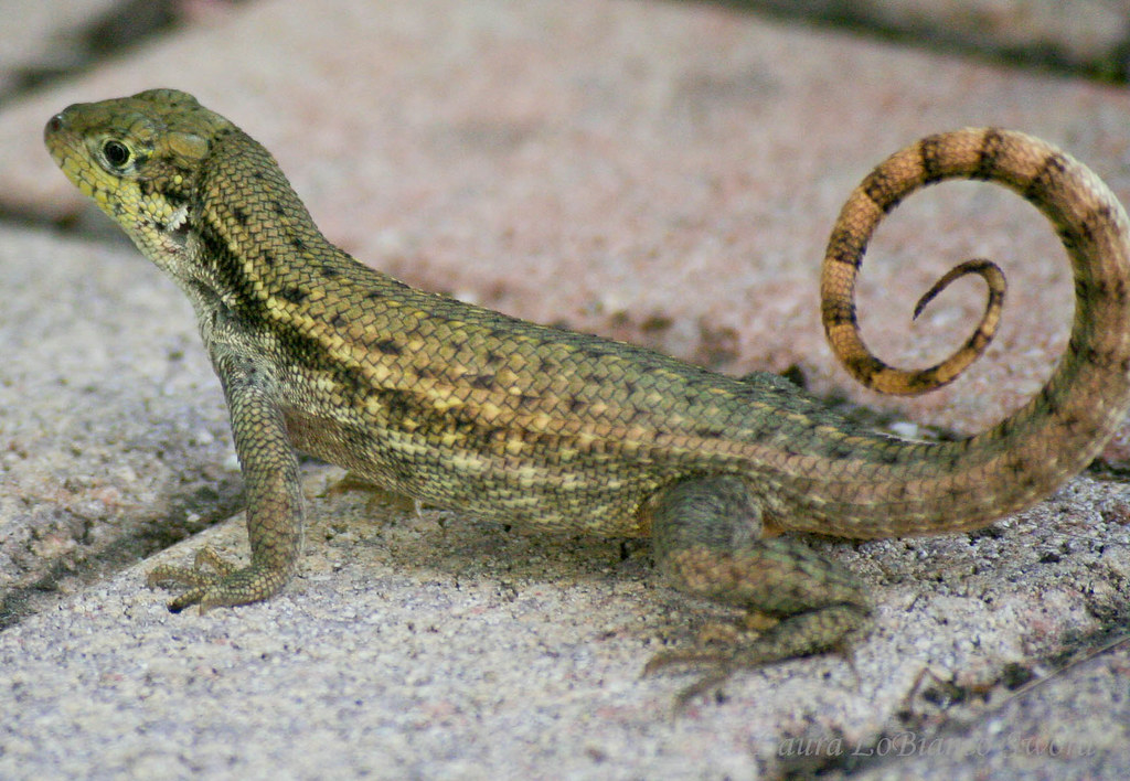 Florida Curly Tailed Lizard Laura Sword Flickr