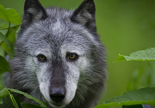 Wolf 1 | by Dan Newcomb Photography