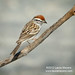 Chipping Sparrow Adult Male