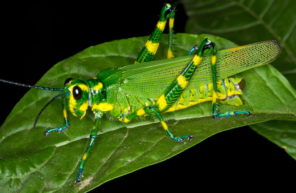 Yellow Green Grasshopper | Oh and then there's an aqua ...