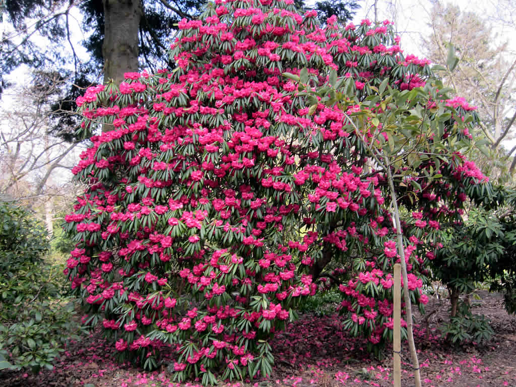 Red Rhododendron Plant Rhododendron Finnerty Gardens Uni Flickr