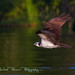 Osprey O'er the Water at Blue Cypress Lake