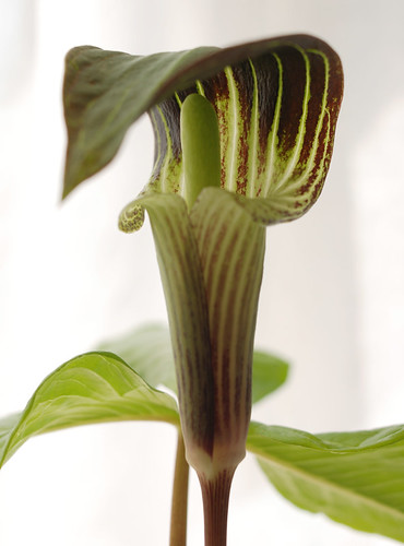 Jack in the Pulpit 3 | by trini_naenae