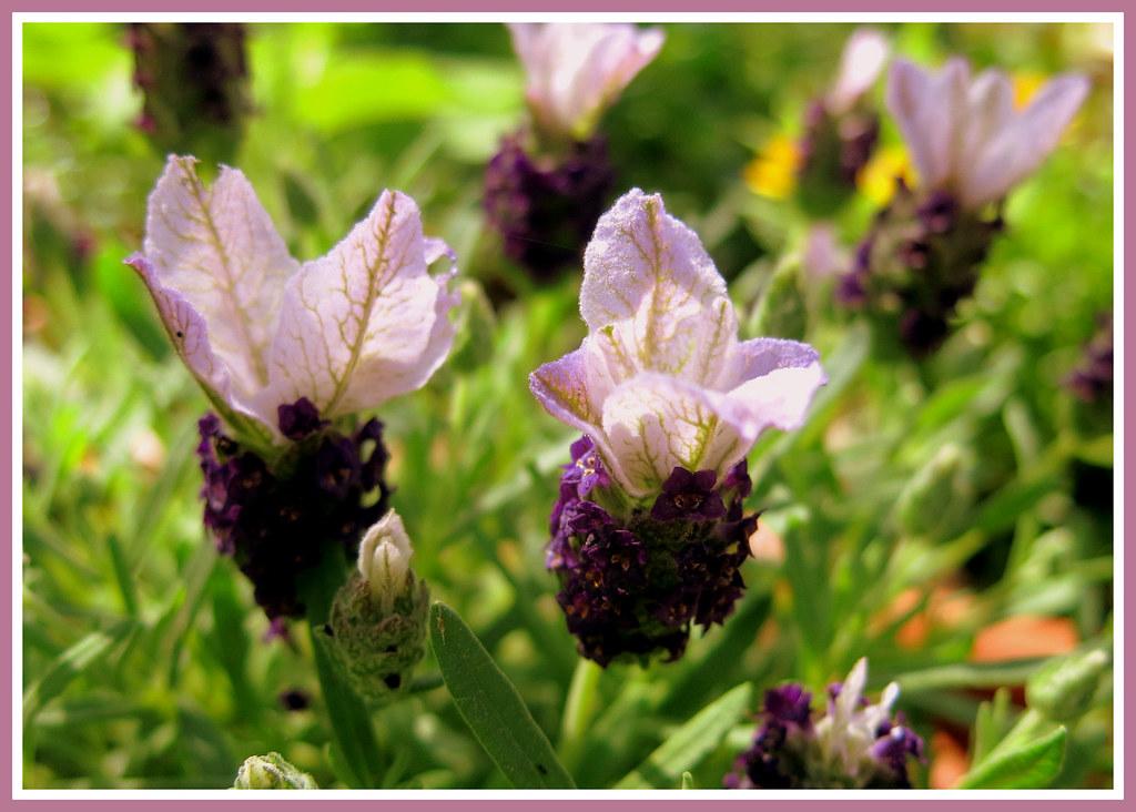 schopf lavendel lavandula stoechas french lavender flickr. Black Bedroom Furniture Sets. Home Design Ideas