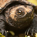 Snapping Turtle by Lopshire