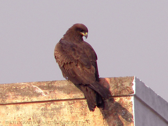 Indian kite bird - photo#13