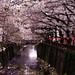 Sakura in Nakameguro