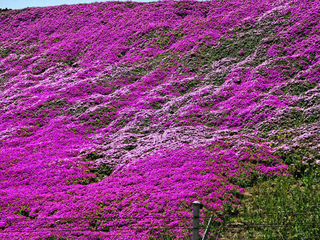 Purple Flowers Purple Ground Cover On A Hill In Santa