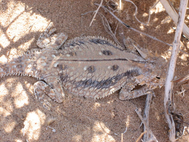 Flat tailed horned lizard flat tailed horned lizard for California department of fish and wildlife jobs