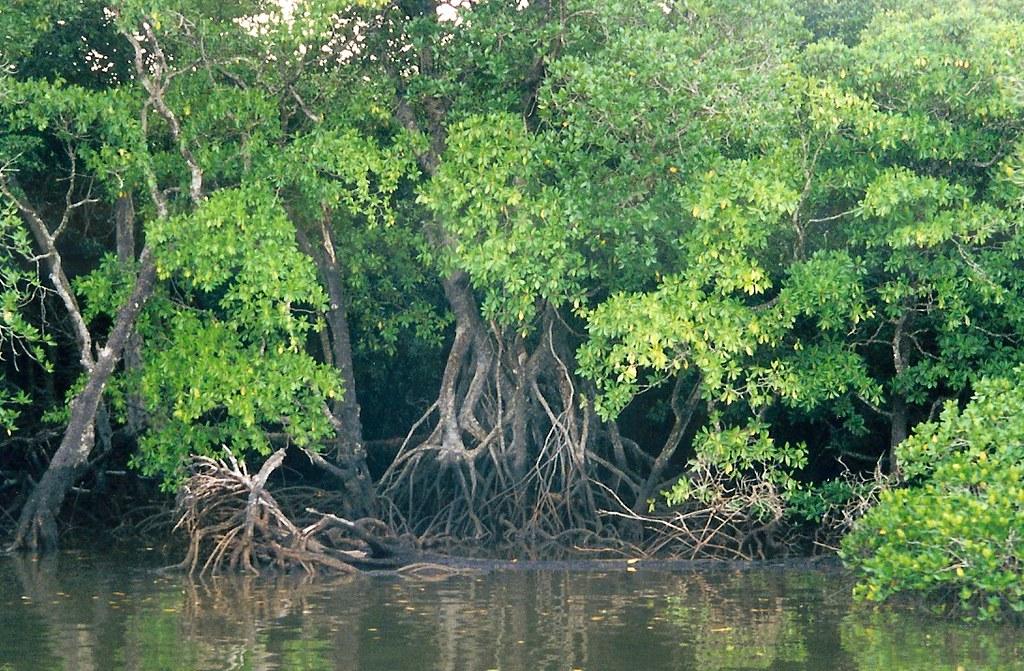 2001 Australia: Daintree Rainforest Mangrove #3 | Scanned ...  2001 Australia:...