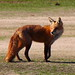 Red Fox at Hains Point 2