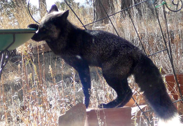 Yard Picture Black Fox At Birdbath This Black Silver