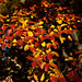 Red and Yellow Leaves, November