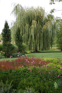 Golden Weeping Willow (Salix alba 'Tristis') | by mclandgardens