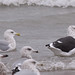 adult hybrid Black-backed Gull