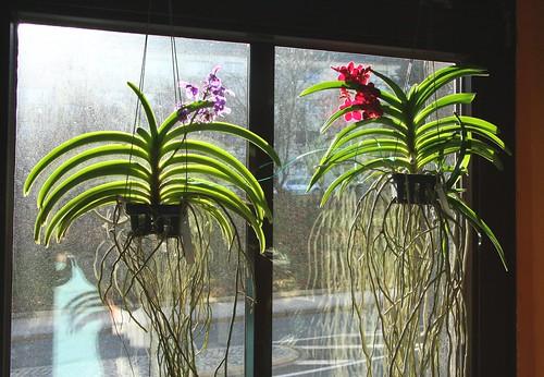 vanda orchideen flickr photo sharing. Black Bedroom Furniture Sets. Home Design Ideas