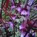Pelargonium Oldbury Duet with Festival Grass