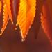 fall chestnut