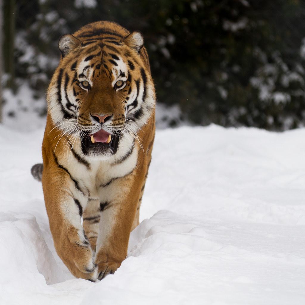 White siberian tiger in snow - photo#19